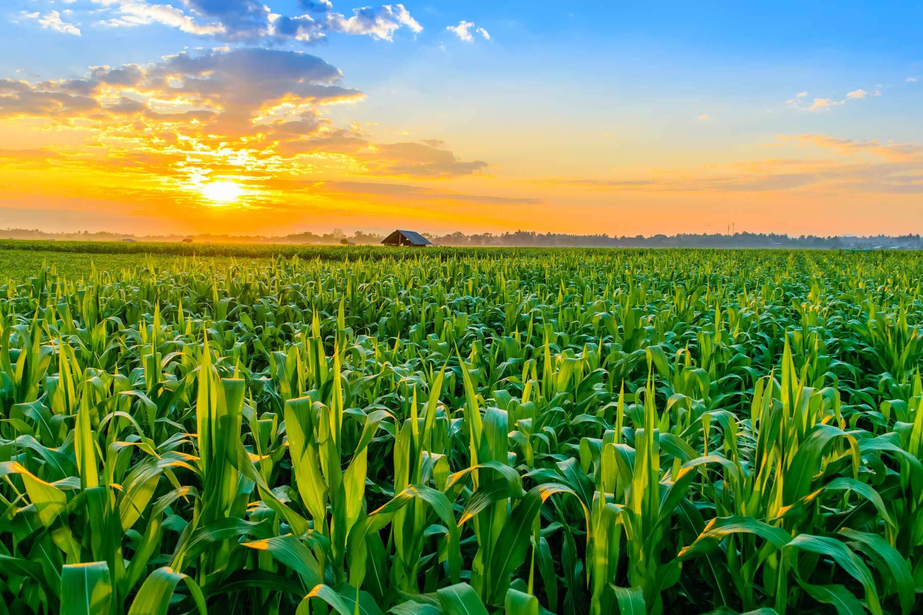 cornfield-sunset
